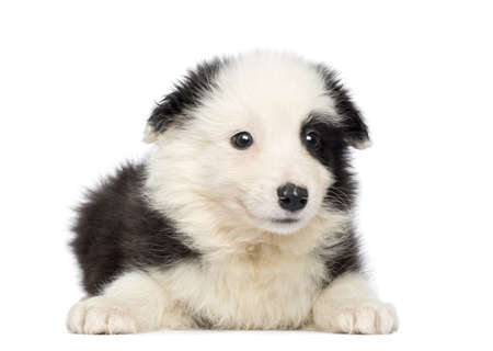 Border Collie Puppy, 2 months old, lying and facing, isolated on white photo