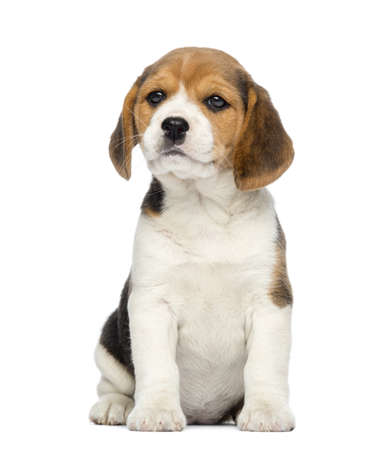 Beagle Puppy, 2 months old, sitting, isolated on white photo