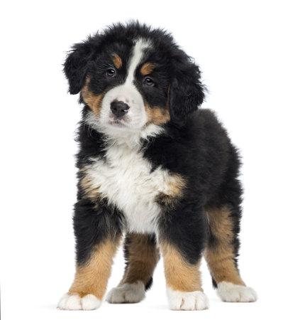 격리 된 흰색 배경에 서 2 개월 Bernese 산 강아지,