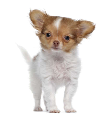 Chihuahua puppy, 3 months old, standing, isolated on white