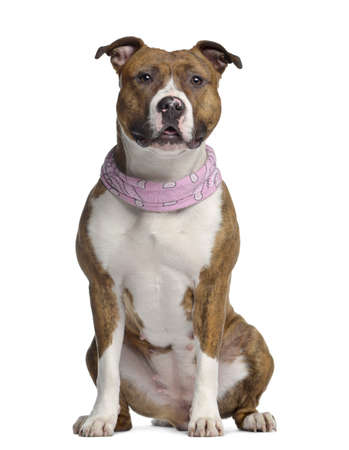 15 months old: American Staffordshire terrier, 15 months old, seated, wearing a pink bandana, isolated on white Stock Photo