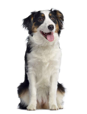 panting: Australian Shepherd, 8 months old, sitting and panting, isolated on white