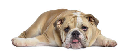 English Bulldog puppy, 5 months old, lying exhausted, isolated on white photo