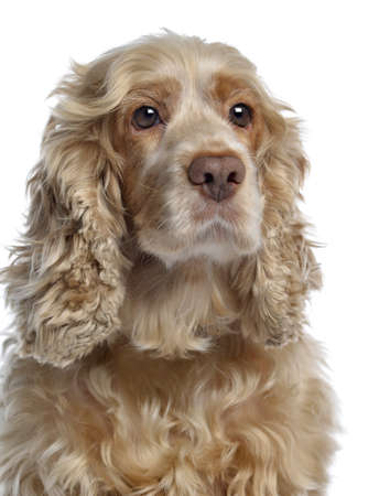 Close-up of an English cocker spaniel, isolated on white Stock Photo