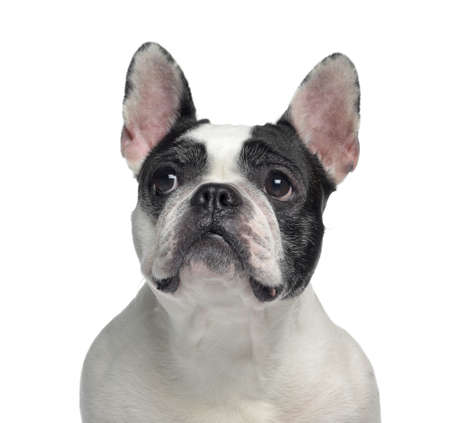 Close-up of a French Bulldog, 6 years old, isolated on white photo