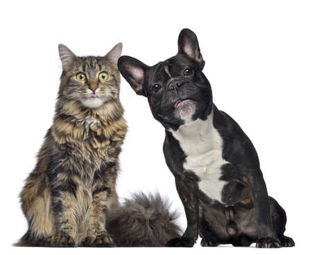 Maine coon and French Bulldog sitting next to each other, isolated on white photo