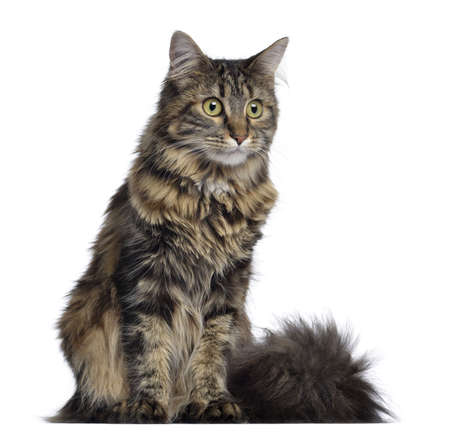 Maine coon cat, sitting, isolated on white