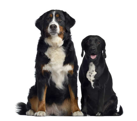 dog sitting: Bernese Mountain Dog and crossbreed between labrador and beagle, 1 year old, sitting, isolated on white