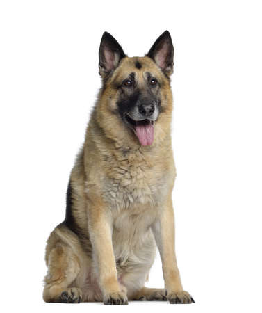 11 years: German shepherd, 11 years old, sitting and panting, isolated on white