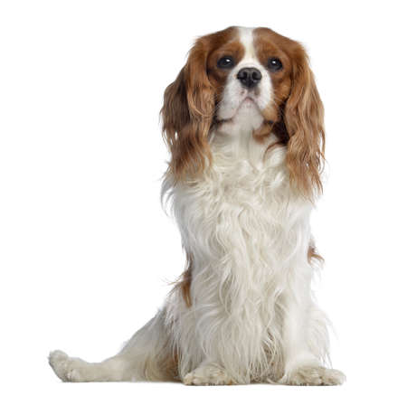 Cavalier King Charles, 2 years old, sitting, isolated on white photo