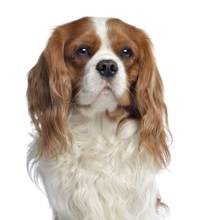 Close-up of a Cavalier King Charles, 2 years old, isolated on white photo