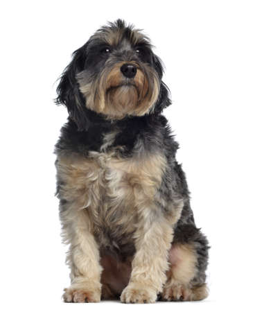griffon: Griffon Bleu de Gascogne, 6,5 years old, sitting and looking away, isolated on white