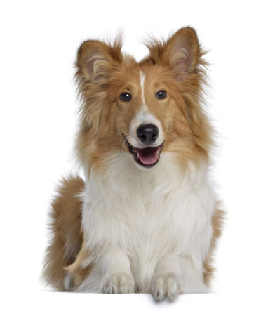 scottish collie:  Scotch Collie, 7 months old, lying and facing, isolated on white