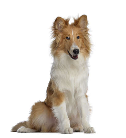 scottish collie:  Scotch Collie, 7 months old, sitting, isolated on white