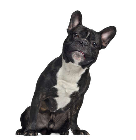 French Bulldog, 3 years old, sitting, isolated on white photo