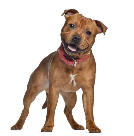 9 months old: Staffordshire Bull Terrier, 9 meses de edad con collar rojo, de pie, aislado en blanco