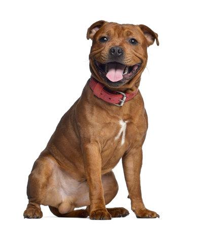 9 months old: Staffordshire Bull Terrier, 9 meses de edad con collar rojo, aislado en blanco