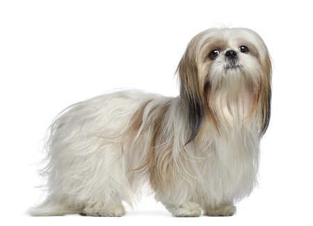 shih tzu: Side view of a Shih Tzu, 2 years old, standing, isolated on white