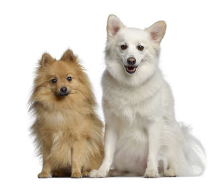 next to each other: Two Spitz, 1 and 3 years old, sitting next to each other, isolated on white Stock Photo