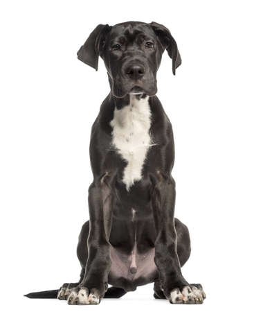 Great Dane puppy, 4 months old, sitting and facing, isolated on white photo