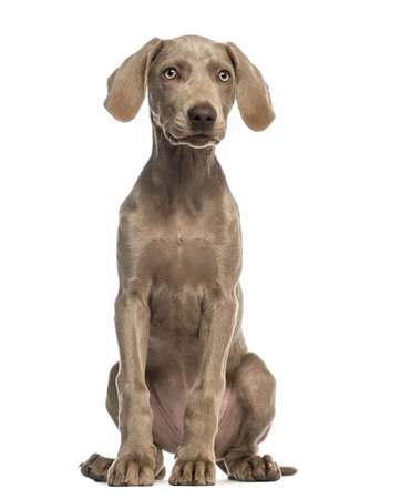 2 5 months: Weimaraner puppy, 2,5 months old, sitting and facing, isolated on white
