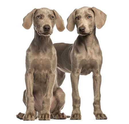 2 5 months: Two Weimaraner puppies, 2,5 months old, sitting and standing, isolated on white