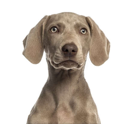 2 5 months: Close-up of a Weimaraner puppy facing, 2,5 months old, isolated on white