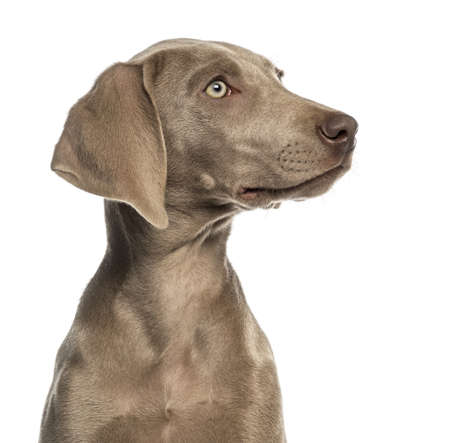2 5 months: Close-up of a Weimaraner puppy profile, 2,5 months old, isolated on white Stock Photo