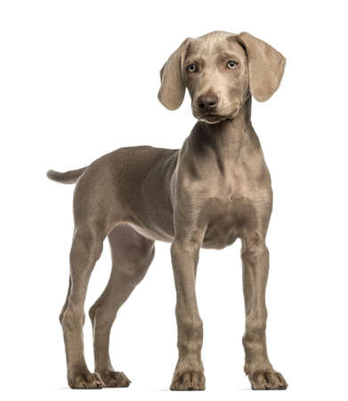 2 5 months: Weimaraner puppy, 2,5 months old, standing, isolated on white