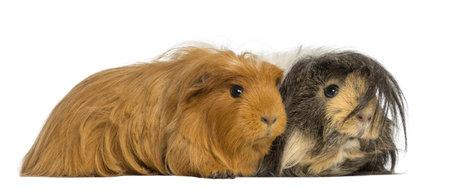 cavie: Due Guinea Pigs - Cavia porcellus, sdraiato, isolato su bianco