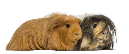 Two Guinea Pigs - Cavia porcellus, lying, isolated on white photo