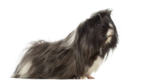 pig out: Side view of a Guinea Pig - Cavia porcellus, isolated on white