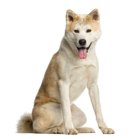 panting: Akita Inu, 2 years old, sitting and panting, isolated on white