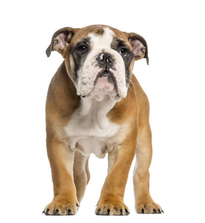 English Bulldog puppy, 3,5 months old, standing, isolated on white photo