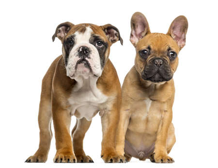 English Bulldog puppy and French Bulldog puppies next to each other, isolated on white photo