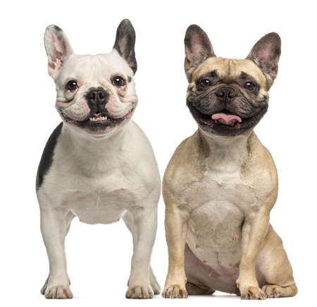 Two French Bulldogs, 3 years old, sitting and panting, isolated on white photo
