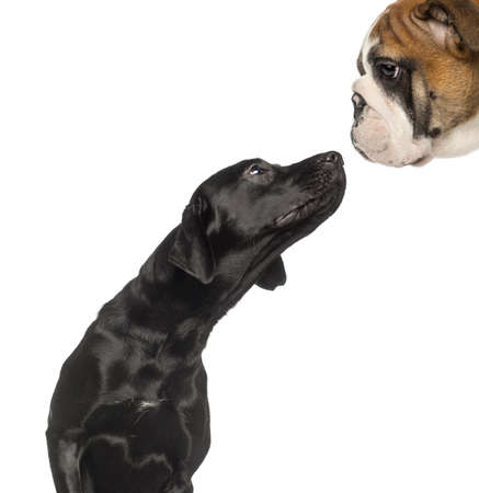 other side of: Close-up on a Black Labrador Retriever looking up at a English Bulldog, isolated on white