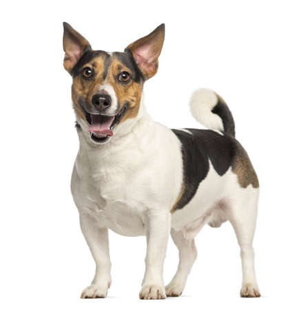 Jack Russell Terrier, 3 years old, standing and panting, isolated on white