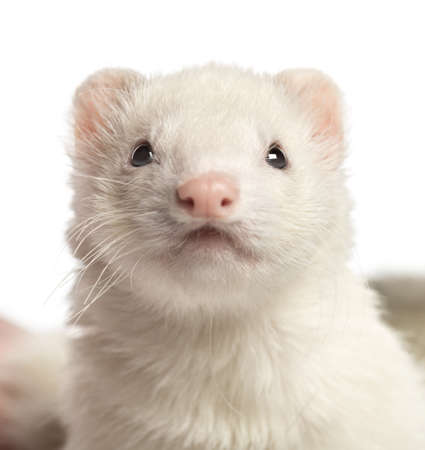 2 years old: Close-up of a Ferret, 2 years old, isolated on white Stock Photo