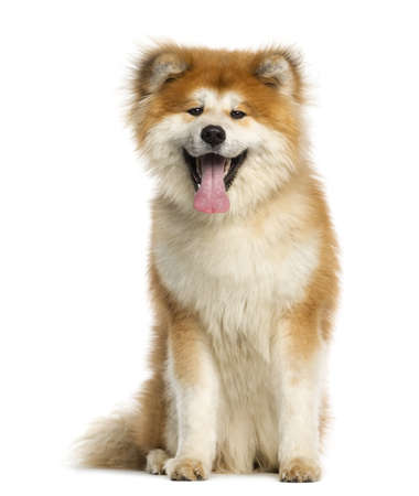 Akita Inu, 1 year old, sitting and panting, isolated on white photo