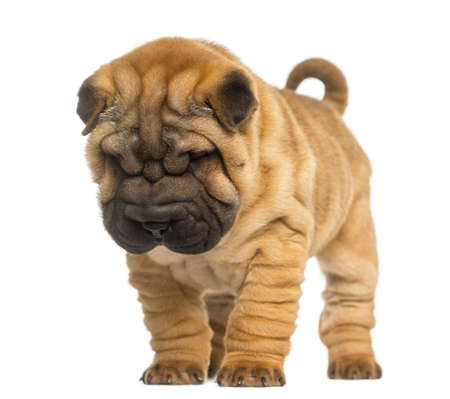 2 months: Shar Pei puppy, 2 months old, standing and looking down, isolated on white