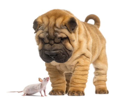 dissimilarity: Shar Pei puppy looking down at a Hairless mouse, isolated on white