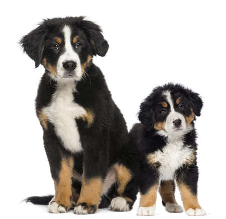 Two Young Bernese Mountain dogs, 3,5 months old and puppy, next to each other photo