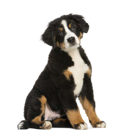 bernese dog: Young Bernese Mountain dog, 3,5 months old, isolated on white