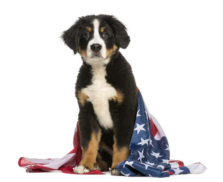 red flag: Patriotic dog sitting with american flag