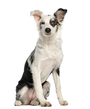 Border Collie, 5 months old, sitting, isolated on white photo