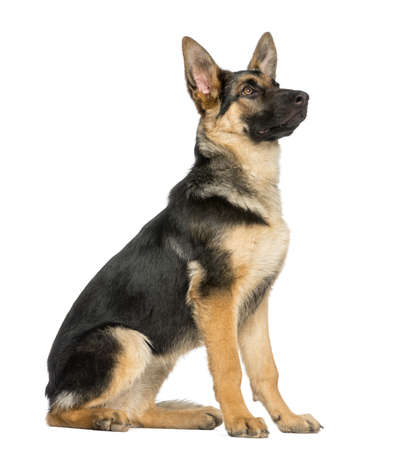 side view on a young German shepherd sitting, looking up, 6 months old, isolated on white photo