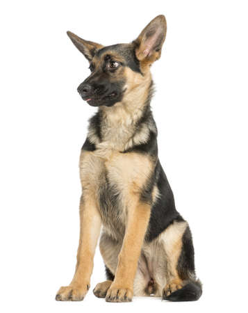 Surprised young German shepherd sitting, looking away, 6 months old, isolated on white photo