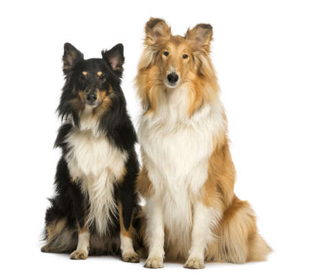 scottish collie: Two Berger Shetland, sitting next to each other, isolated on white Stock Photo