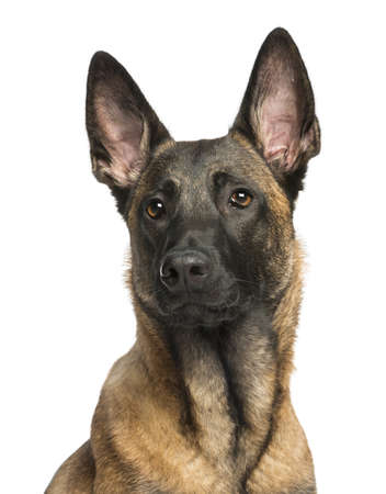 Close-up of a Belgian Shepherd Dog isolated on white photo